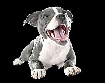 pittie puppy (1).png