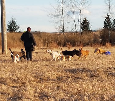Recall, obedience, dogs, training