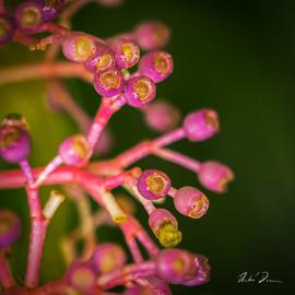 Pink Buds