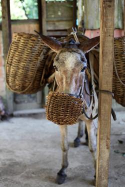 cangalha de burro
