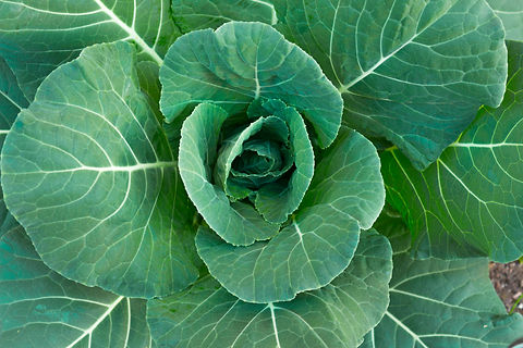 Organic Collard Greens.jpg