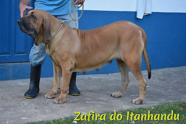 Zafira do Itanhandu- Fila brasileiro.jpg
