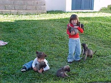 fila brasileiro filhotes
