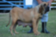 Fila Brasileiro Cachorro