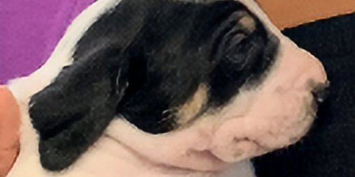 Puppy Auction and Annual Meeting
