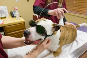 Introducing Laser Therapy for Your Pet