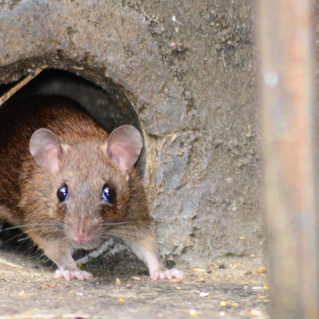 Ko ne radi, ne boji se gladi! Ljubo Bešlić u mišjoj rupi.