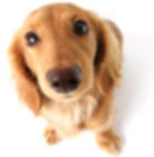 Dachshund, Dog, pet food, treats, raw feeding, all natural, dog food
