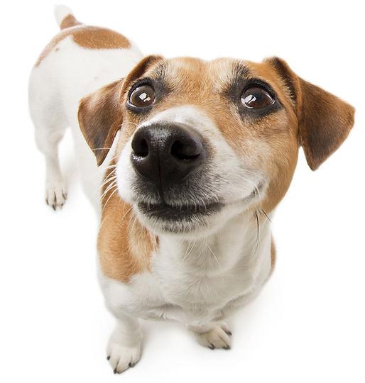 Miniature Fox Terrier, dog food, dog treats, all natural, human grade, real food, dogs, pets, pet food