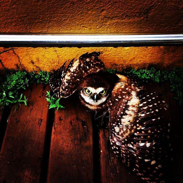 #owl  #coruja #hostelling #hostellinginternational _Foto ;_ericmoyano_