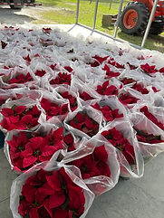 Red Poinsettias.jpg