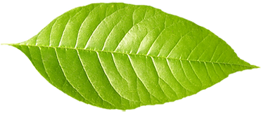 Sola hoja verde