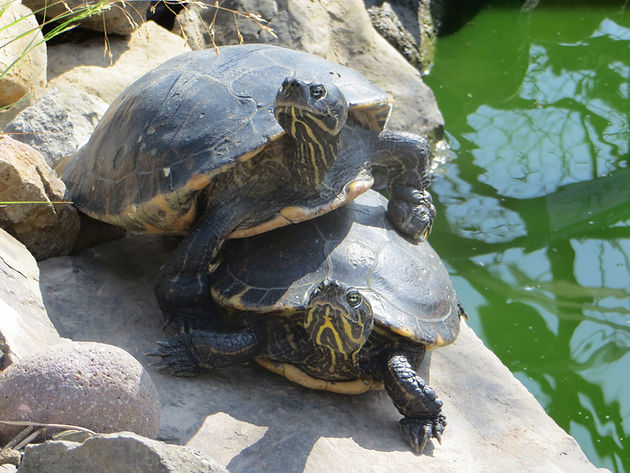 10 Common Turtle Myths