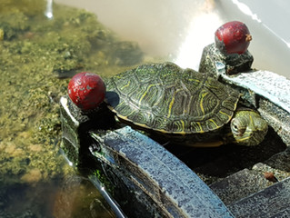 The ABCs of Turtle and Tortoise Feeding