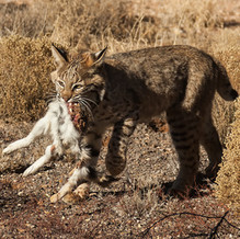 wild-bobcat-rabbit-prey-1782.jpg