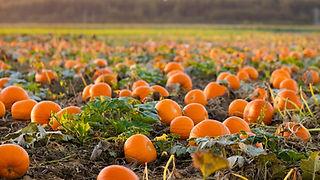 pumpkin background.jpg