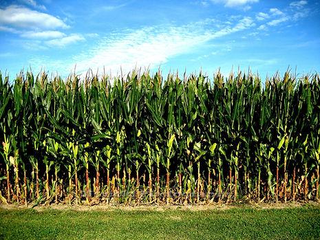 maize maze website 2.jpg