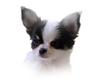 AKC Chihuahua Puppies for sale in Florida