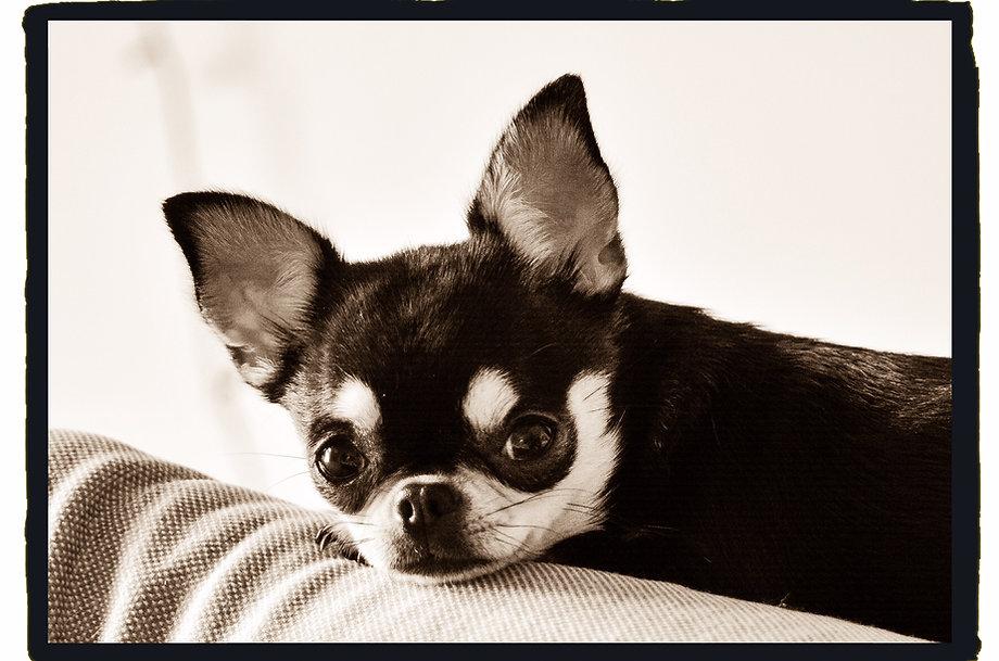 Chihuahua breeder, exhibitor of quality AKC Chihuahua
