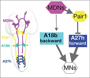 MDN-Pair1-A18b-A27h EM connectome.jpg
