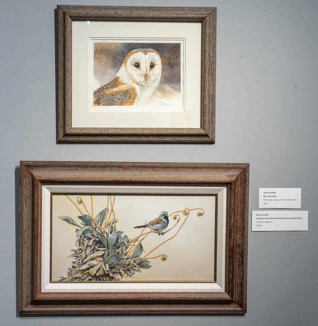 Barn Owl Study (top), Black-throated Sparrow and Encelopsis