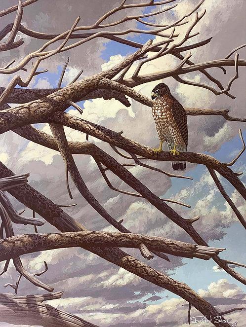 Broad-winged Hawk by Richard Sloan