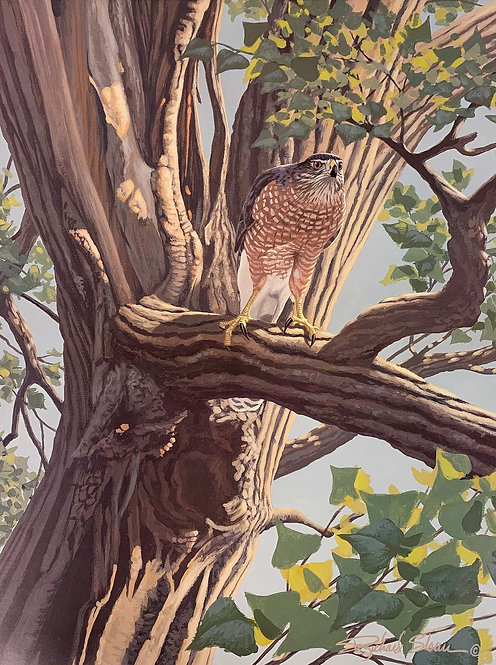 Cooper's Hawk by Richard Sloan
