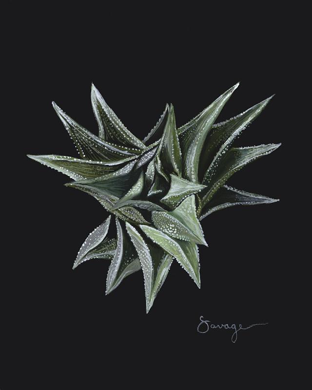 CS10 Black Haworthia