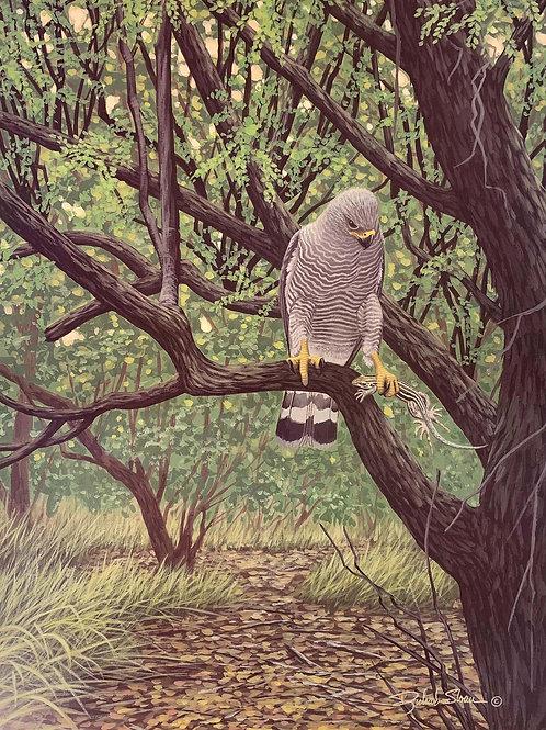 Gray Hawk by Richard Sloan