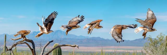 Feruginous-Hawk-Flight-Corrected.jpg