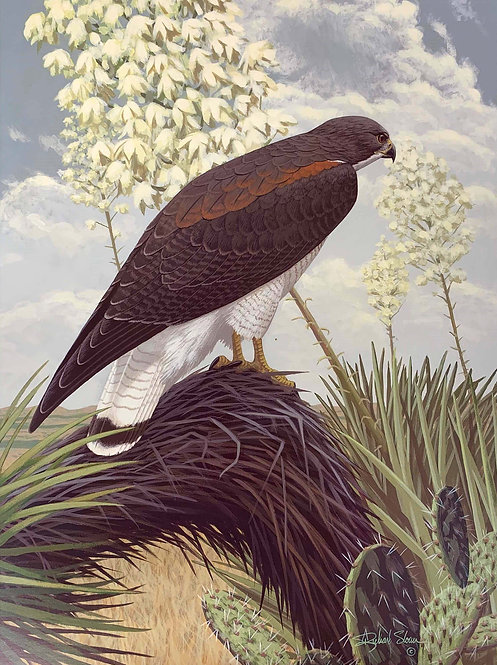 White-tailed Hawk by Richard Sloan