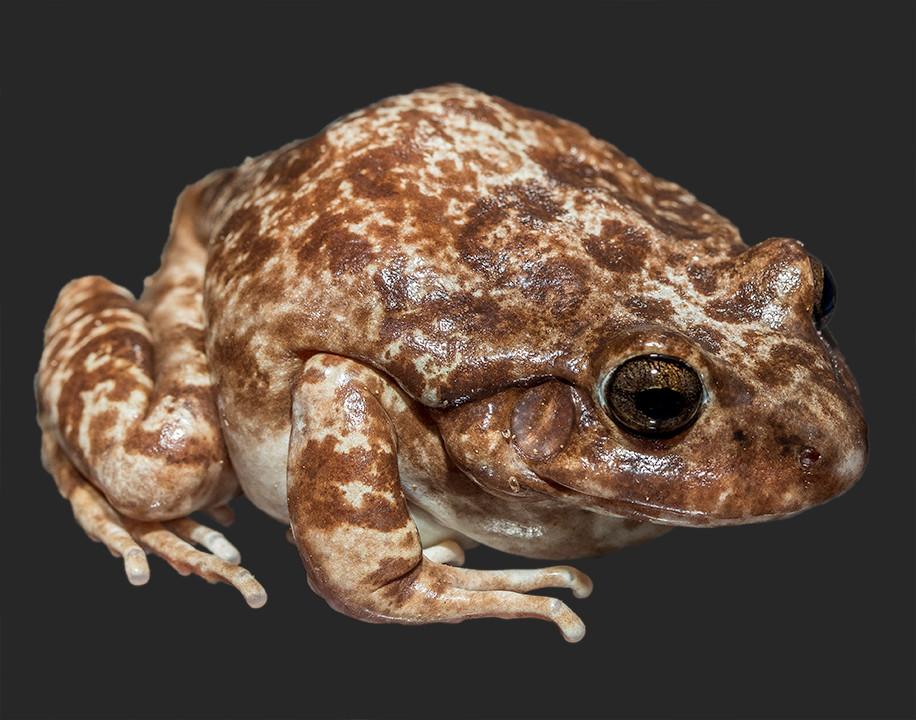 Western Barking Frog_55A0243.jpg