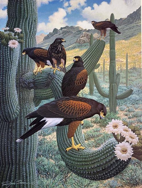 Harris' Hawk by Richard Sloan