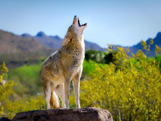 Coyote-Howl.jpg
