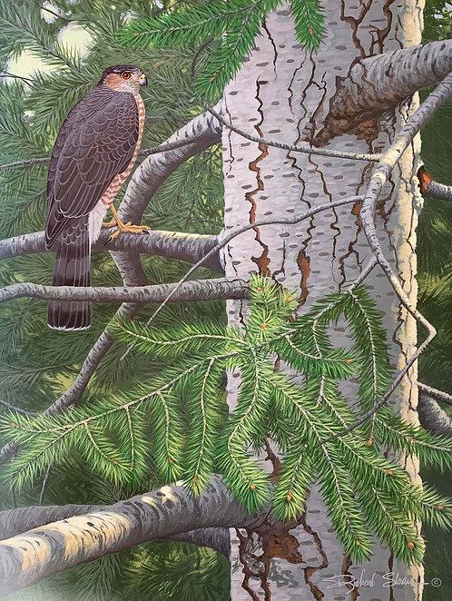 Sharp-shinned Hawk by Richard Sloan