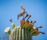 Cactus-wren-eating-saguaro-fruit.jpg