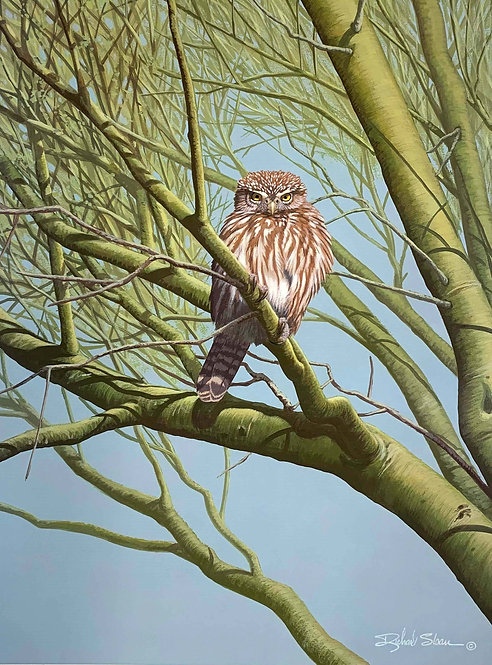 Ferruginous Pygmy Owl by Richard Sloan