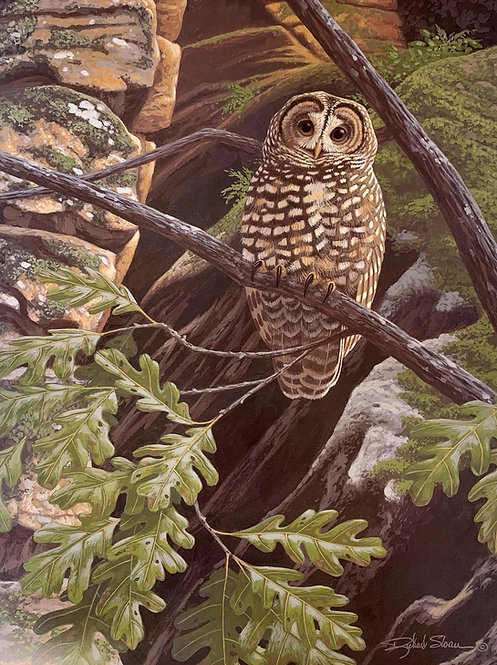 Spotted Owl by Richard Sloan