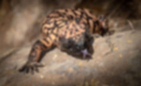 Gila Monster with Tongue Out.jpg