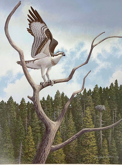 Osprey by Richard Sloan