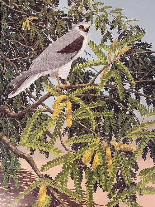 White-Tailed Kite by Richard Sloan