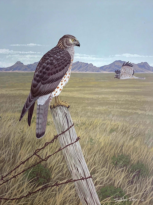 Northern Harrier by Richard Sloan