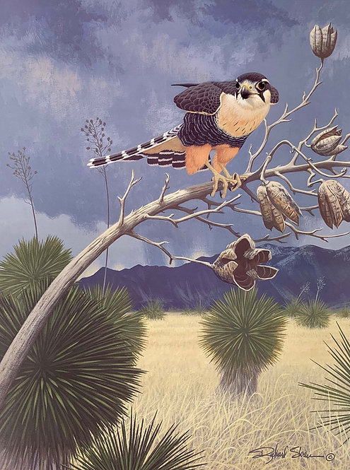 Aplomado Falcon by Richard Sloan