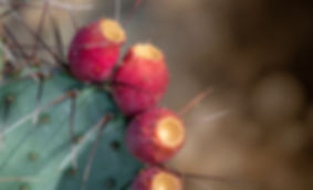 Long Spined Prickly Pear Fruit.jpg