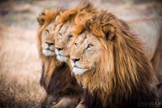 3 Lions.jpg