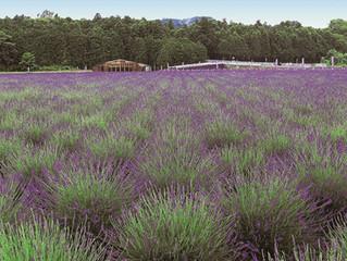 嵐山町(埼玉県)に日本最大級のラベンダー園が誕生
