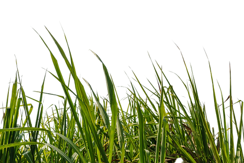 sugar-cane-leaf-with-isolated-white-back