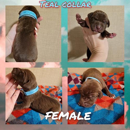 Chocolate Female- Teal Collar