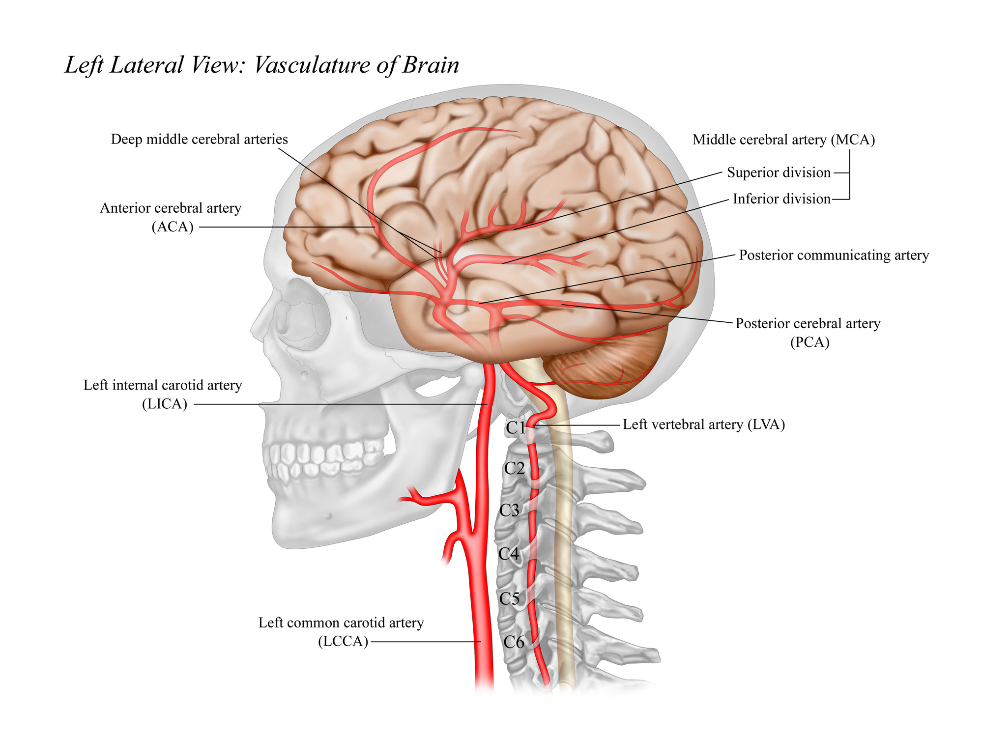 Major Arteries of Brain: Lateral