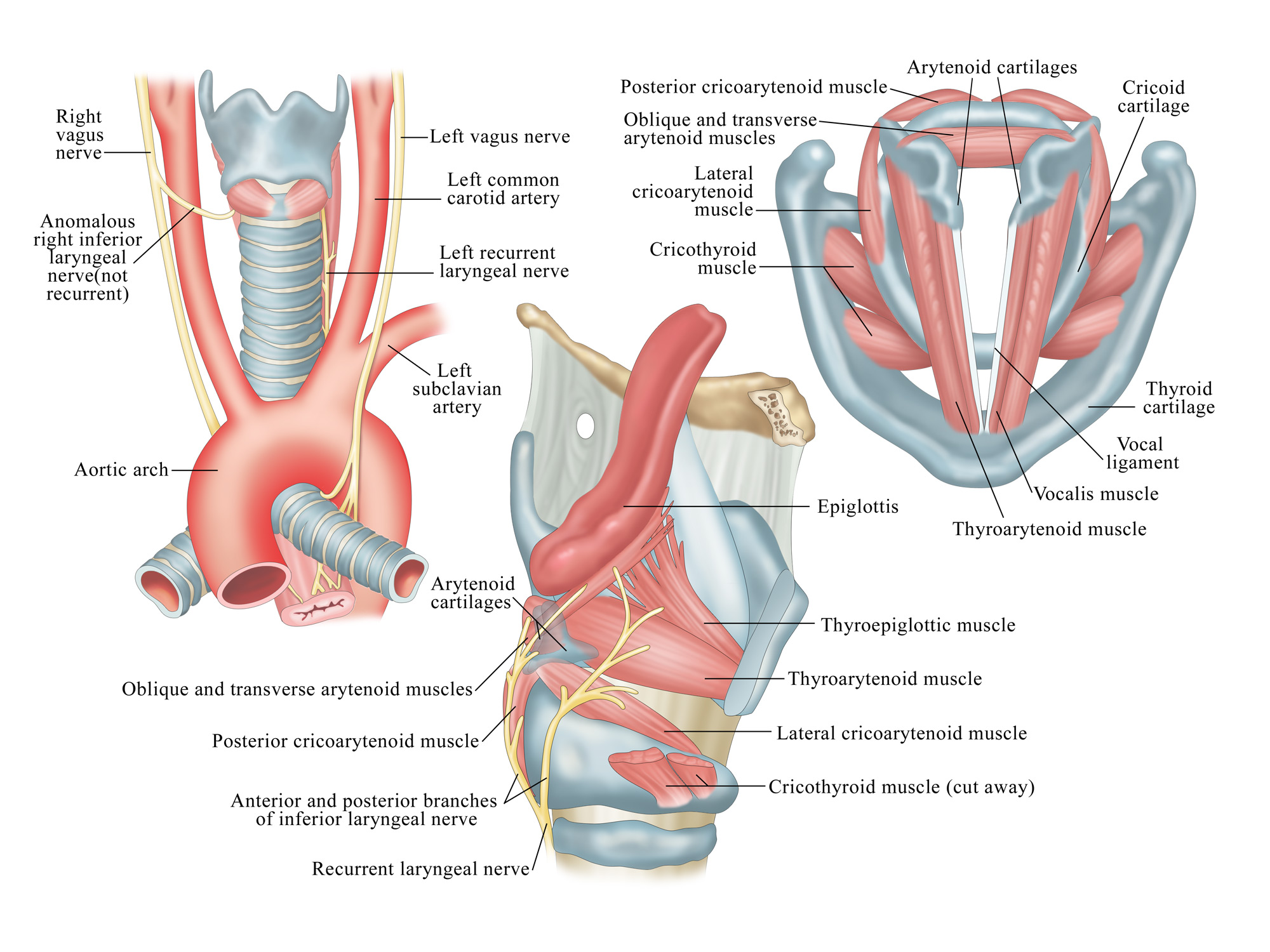 Throat and Vocal Anatomy